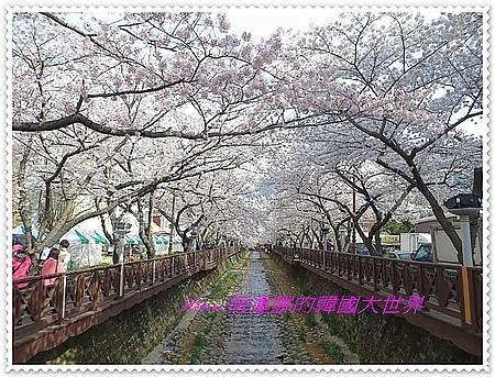 賞櫻花,軍港節,釜山,鎮海,韓國,餘佐川 @Helena's Blog