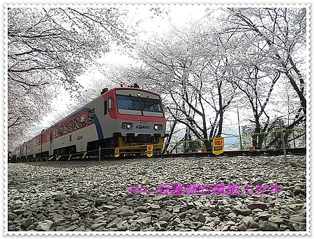 慶和,櫻花,釜山,鎮海,韓國 @Helena's Blog