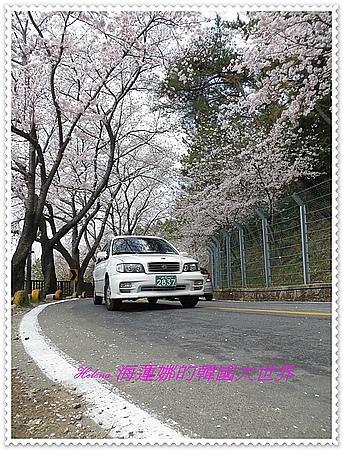 安民,櫻花,釜山,鎮海,韓國 @Helena's Blog